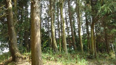 杉林と竹林風景